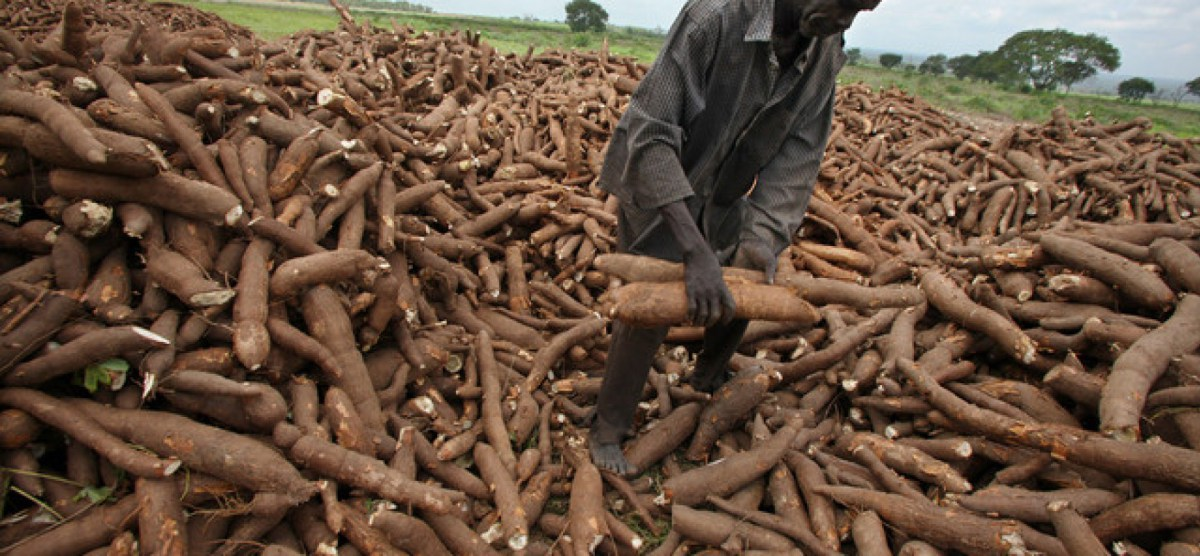 North East: IITA and AfDB to help Taraba transform cassava in the framework of TAAT …Trains 60 extension agents