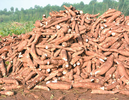 Starch importation: Nigeria losing $45m despite being world's largest cassava producer